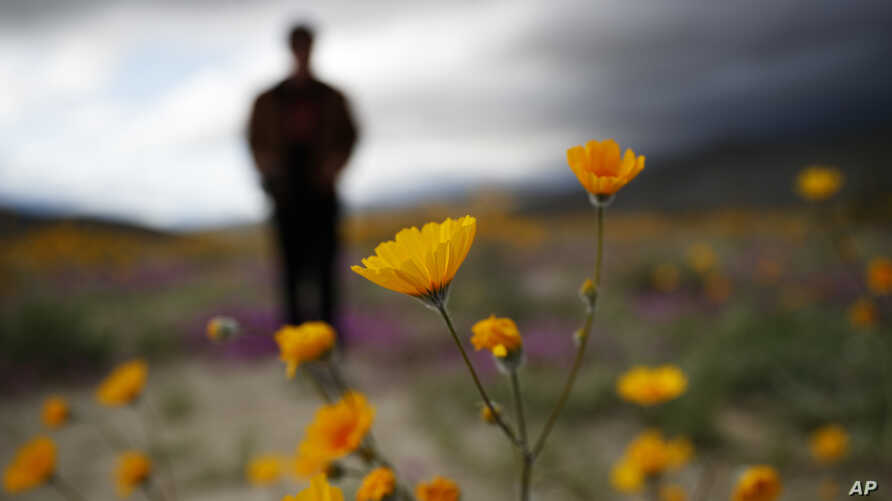 """A man looks at the wildflowers in bloom near Borrego Springs, Calif., March 6, 2019. Two years after steady rains sparked seeds dormant for decades under the desert floor to burst open and produce a spectacular display dubbed the """"superbloom,"""" anothe"""
