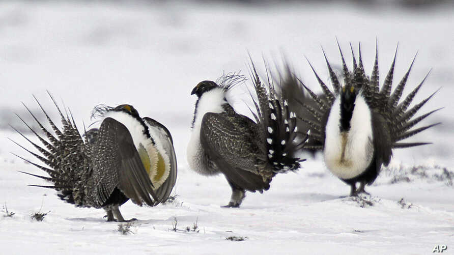 FILE - Male greater sage grouse perform mating rituals for a female grouse, not pictured, on a lake outside Walden, Colorado, April 20, 2013.