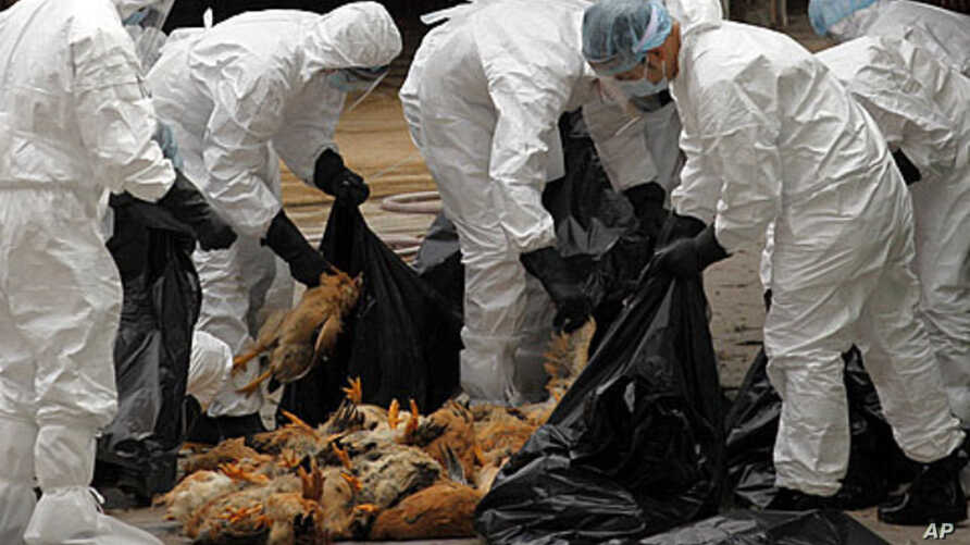 Health workers pack dead chicken at a wholesale poultry market in Hong Kong December 21, 2011.