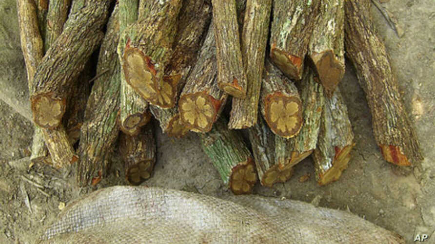 In the South American jungles, ayahuasca is used in religious ceremonies to induce visions and also as a remedy to cure illness.
