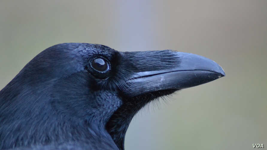 The cognitive skills of crows, ravens and other corvids are as sophisticated as those of apes, even though they have a much smaller brain. (© Jana Müller)