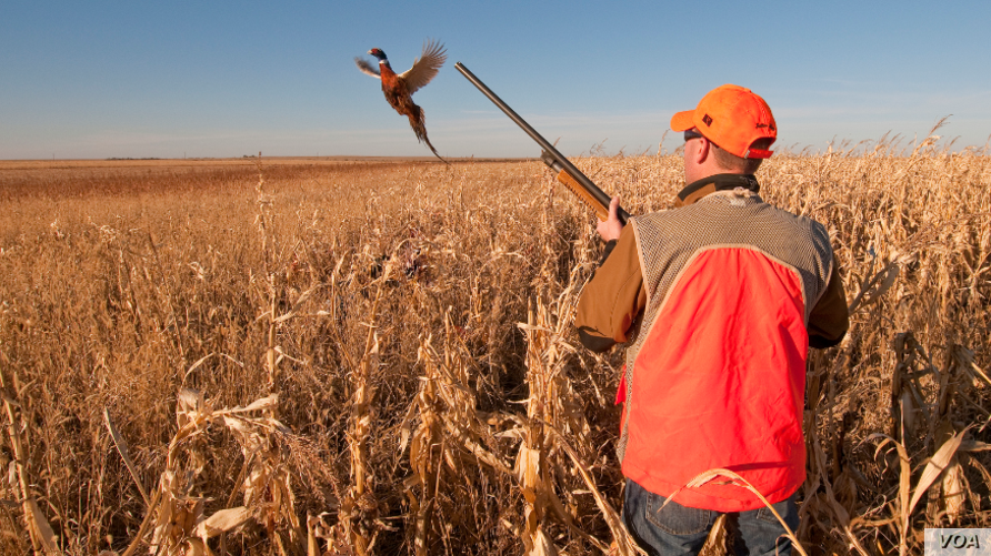 FILE - A hunter flushes a pheasant in this 2009 photo from the South Dakota Department of Tourism.