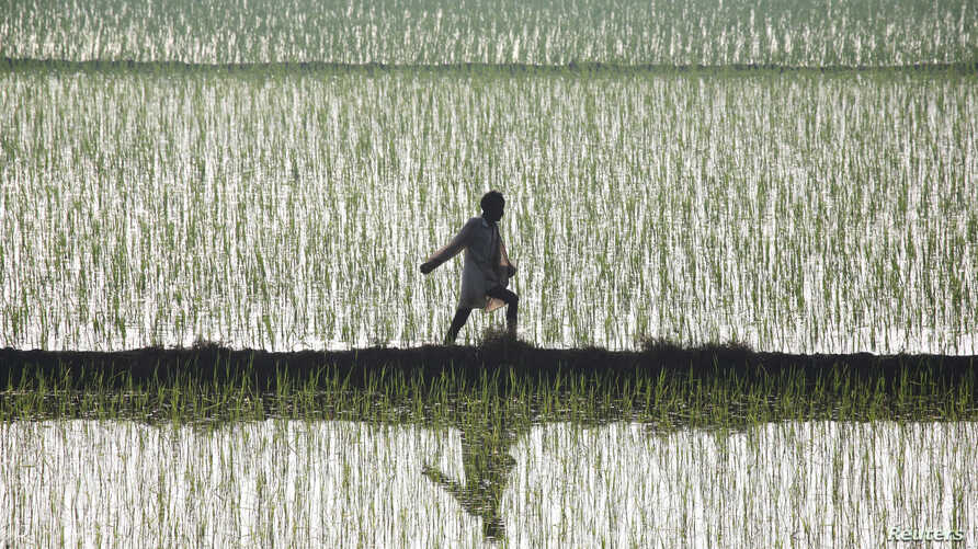 FILE - A farmer spreads fertilizer in a paddy field at Traouri village, Haryana state, India.