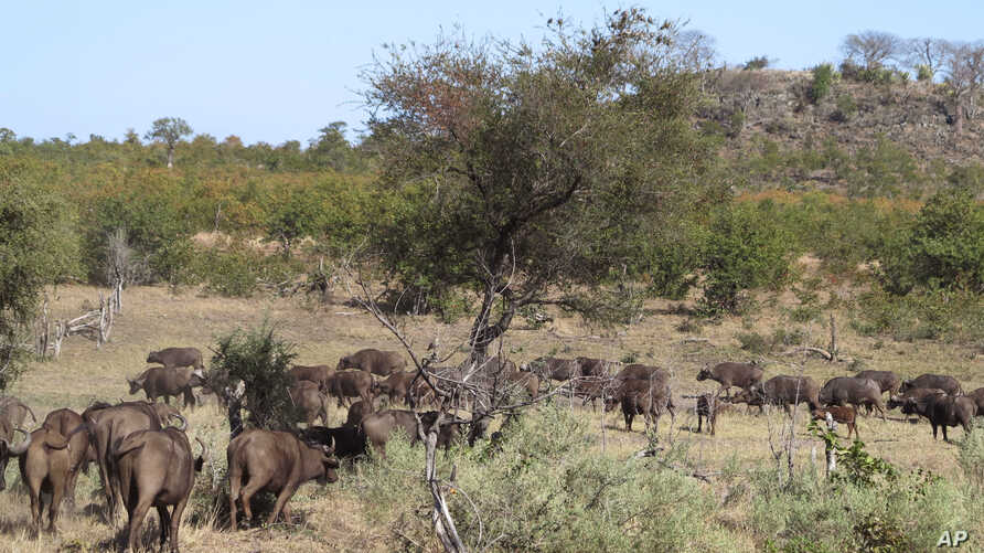 a herd of buffalo pass by in the Kruger National Park, South Africa, Aug. 7, 2016