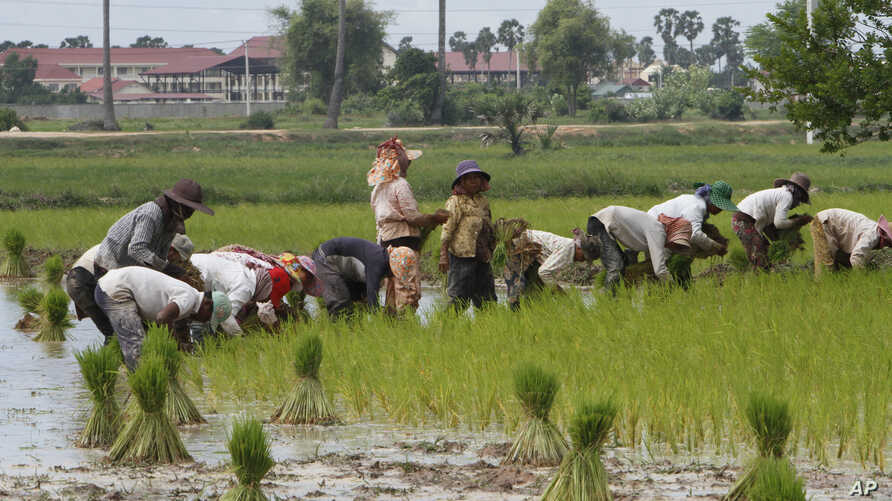 Farmers plant rice in Samroang Teav village on the outskirts of Phnom Penh, Cambodia, Aug. 23, 2015.