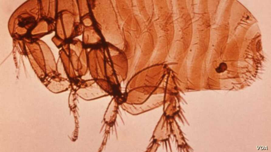 Fleas are the main transmitters of plague.