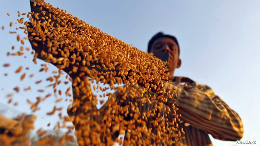 Farmer sifts wheat crop at a farm on the outskirts of western Indian city of Ahmedabad, March 6, 2013.