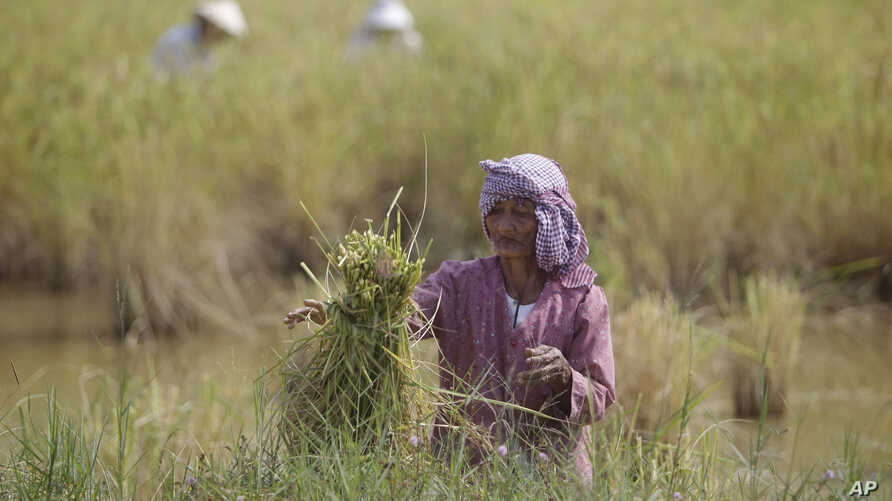 A Cambodian farmer ties a bundle of rice during the rice harvesting season in Trapaing Mean village on the outskirts of Phnom Penh.