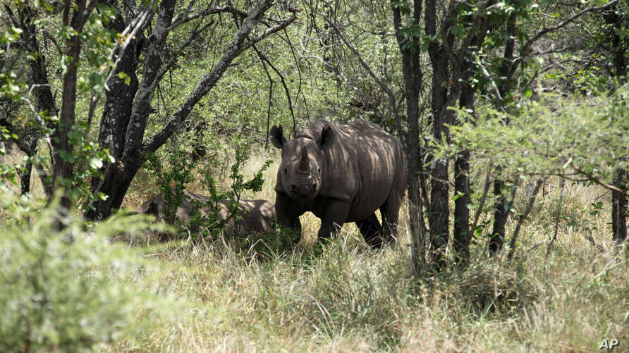 FILE - A rhino is seen walking in its natural environment in the Bubi area, about 500 kilometers south of Harare, Zimbabwe, Dec. 20, 2010.