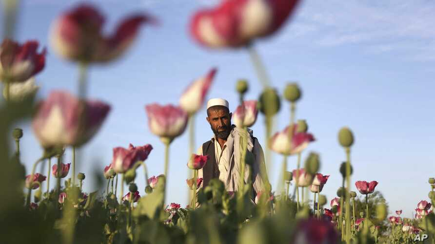An Afghan man walks through a poppy field in the Surkhroad district of Jalalabad east of Kabul, Afghanistan, April 14, 2017. (AP