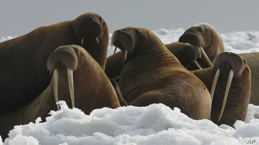 FILE - A photo provided by the U.S. Fish and Wildlife Service, shows Pacific walrus cows and yearlings resting on ice in Alaska, April 18, 2004.