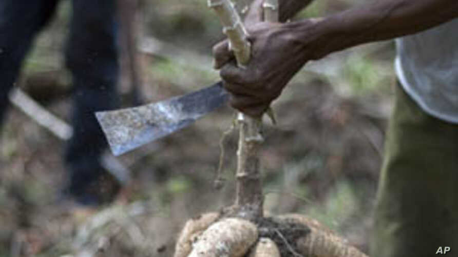 Cassava Disease Threatens East African Food Security