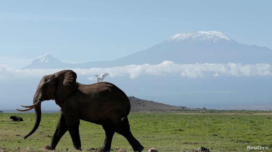 An elephant walks in Amboseli National Park in front of Kilimanjaro Mountain, Kenya, March 19, 2017.