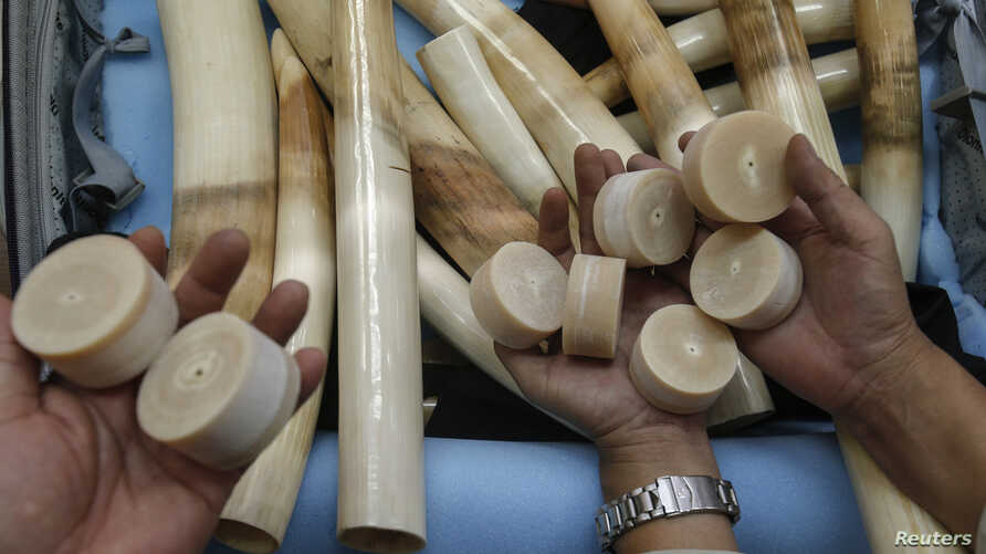 FILE - Thai customs officers show seized ivory during a news conference at the customs office in Bangkok.
