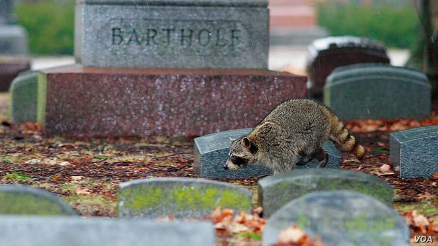 Cemeteries are Alive… With Wildlife | Voice of America - English
