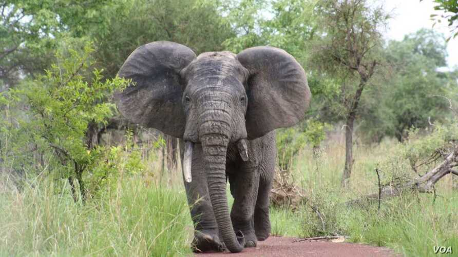 FILE - An elephant is seen in Pendjar National Park. (Courtesy: Government of Benin)