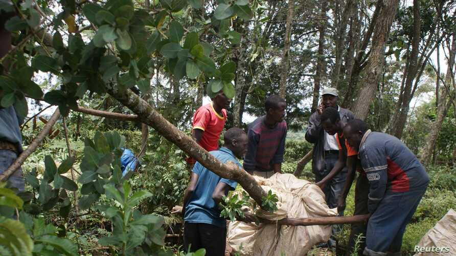 A group of young men prepare to transfer an uprooted tree from Samuel Rono's farm in Kerita village, southern Kenya, to another location, Aug. 28, 2018.