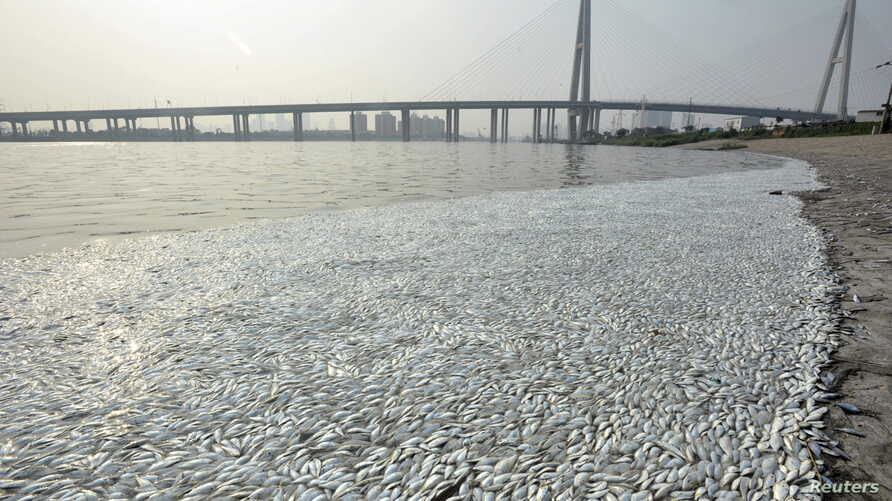 Dead fish are seen on the banks of Haihe river at Binhai new district in Tianjin, China, August 20, 2015.
