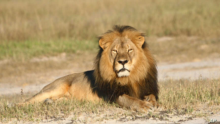Zimbabwe Lion Killed
