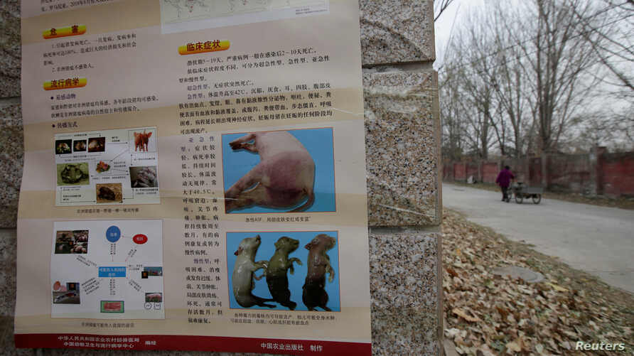 FILE - A poster on African swine fever is seen outside a farm after the outbreak of the disease in Fangshan district of Beijing, China, Nov. 23, 2018.