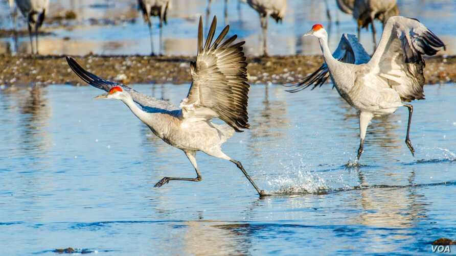 Drama In World Of Birds Sandhill Crane >> Sandhill Cranes Spread Their Wings Rest A Spell In Us Midwest