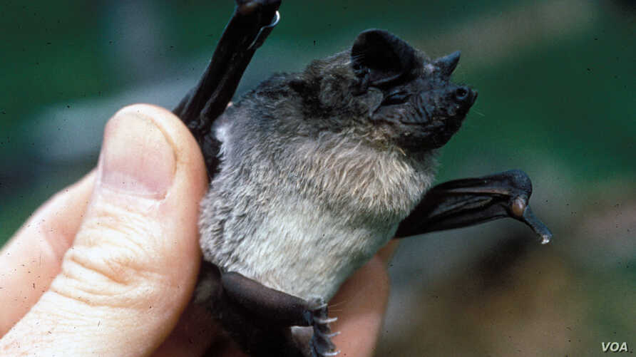 FILE - The Angolan Free-tailed bat is found across much of sub-Saharan Africa. (Richard K. LaVal/Mammal Image Library of the American Society of Mammalogists)