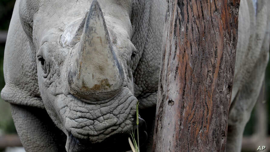 """A rhino stands inside his enclosure at the eco-park in Buenos Aires, Aug. 13, 2018. The recent deaths of the two animals have fueled charges by conservationists that an attempt by the Buenos Aires' government to turn a 140-year-old zoo into an """"eco-p"""