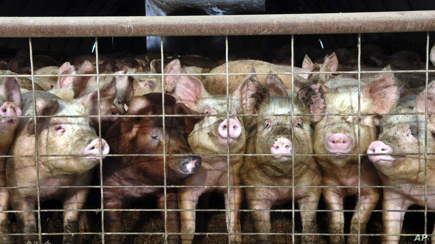 FILE - A group of young pigs stare out of a pen at a hog farm in central North Dakota, in this Jan. 2005 file photo.