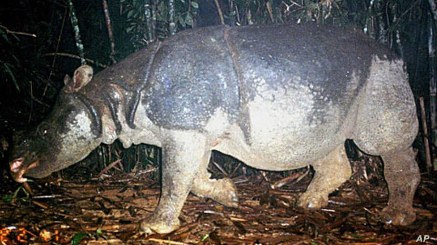 This undated  handout photo released by the WWF shows a Javan rhino inside the Nam Cat Tien park in Southern Vietnam. A critically endangered species of rhino has been poached to extinction in Vietnam, wildlife groups said on after the country's last