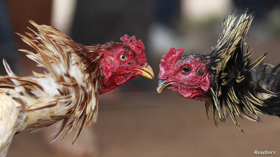 FILE - Roosters participate in a traditional Malagasy cockfighting contest in Ambohimangakely near Madagascar's capital Antananarivo.