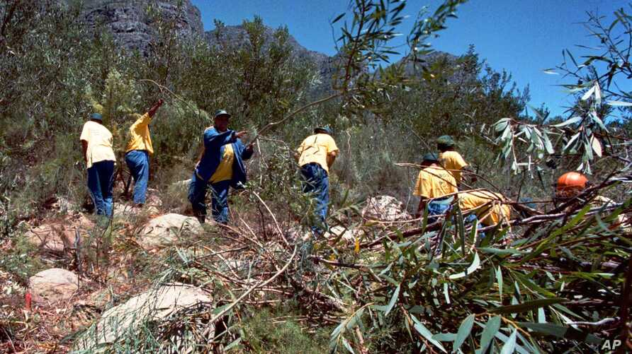 FILE - Workers clear a mountainside of alien plants near Cape Town, South Africa. Non-native plants have spread quickly across the country, bullying and killing local species and sucking up precious water from land that usually supports scrub brush a