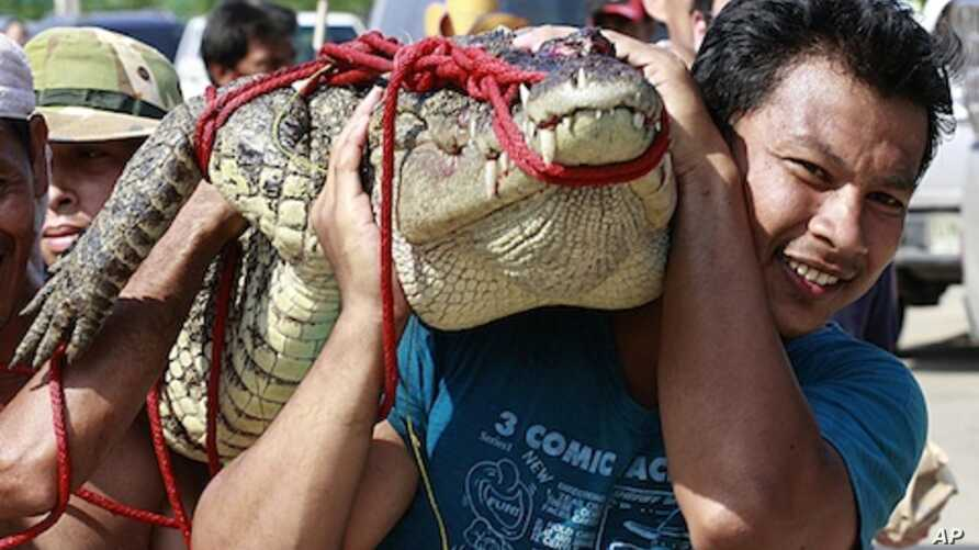 A man carries a crocodile on his shoulder after he and his team killed it at a flooded residential area in Bangbuatong district of Nonthaburi province, north of Bangkok, Thailand Sunday, Oct. 23, 2011.