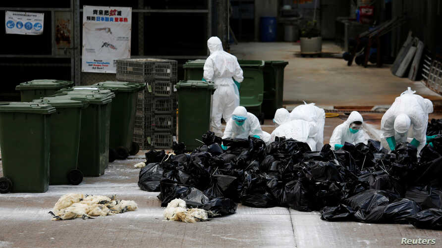 FILE - Health officers cull poultry at a wholesale market in Hong Kong after a spot check revealed the presence of H7N9 bird flu virus, June 7, 2016. China's Xinjiang region has experienced an outbreak of the virus.