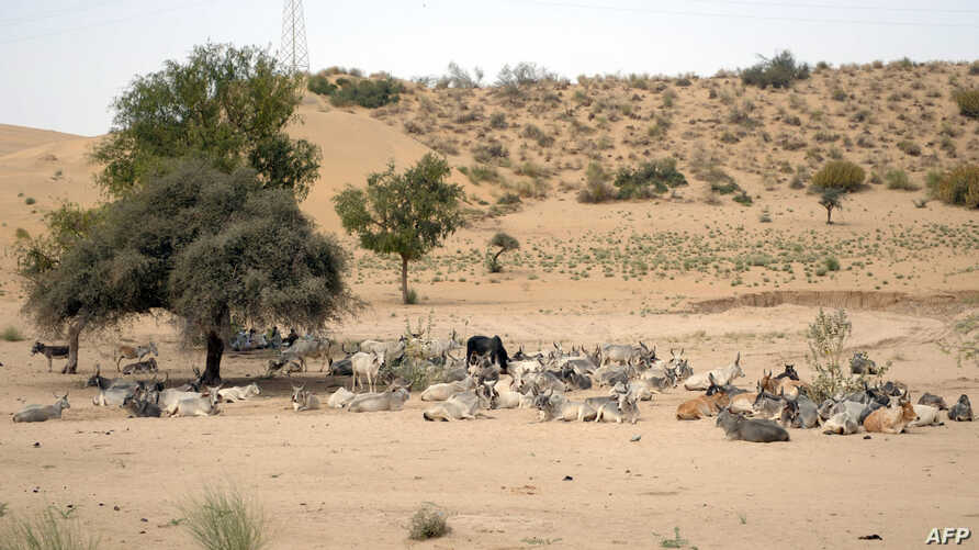 FILE - The livestock of Pakistani drought-affected villagers are pictured on the outskirts of Mithi, Tharparkar district, southern Sindh province, Pakistan, March 12, 2014.