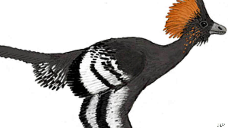Reconstruction of the plumage color of the Jurassic troodontid Anchiornis huxleyi.