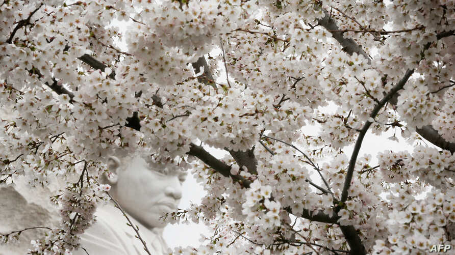 WASHINGTON, DC - APRIL 08: The statue of Martin Luther King, Jr. is seen through blooming Cherry Blossom trees at the Tidal Basin April 8, 2015 in Washington, DC. The Cherry trees around the Tidal Basin, which were originally gifts from Tokyo, Japan,