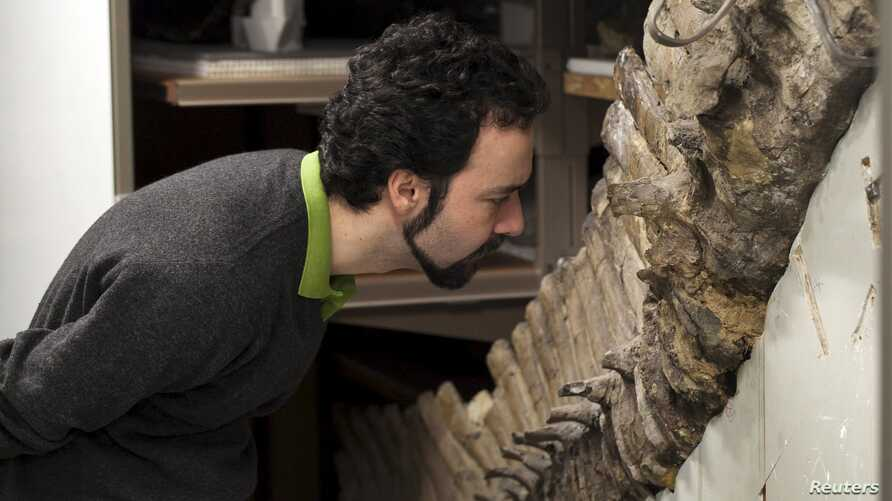 Sergio Bertazzo, a biomedical physical scientist at Imperial College in London, examines a fossil at Natural History Museum in London in this undated handout photo provided by Laurent Mekul, June 9, 2015.
