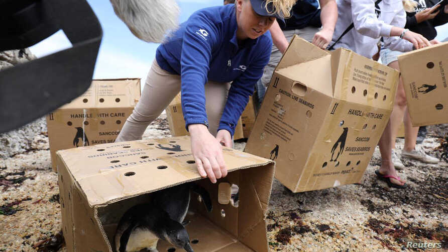 Kristen Hannigan, senior trainer at the Georgia Aquarium, helps in the release of penguin chicks that were rehabilitated by the Southern African Foundation for the Conservation of Coastal Birds at Stony Point near Cape Town, South Africa, Dec. 8, 201