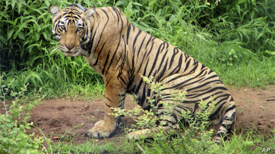 A three-year-old tiger is seen on June 29, 2008 at India's Sariska Tiger Reserve in the western state of Rajasthan. (file photo)