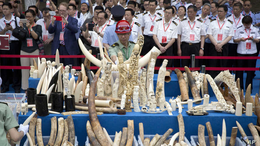 Chinese officials watch as workers prepare ivory products for destruction during a ceremony in Beijing, May 29, 2015.