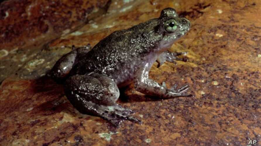 The female Gastic Brooding frog swallows her eggs, raises tadpoles in her stomach and gives birth to froglets through her mouth.