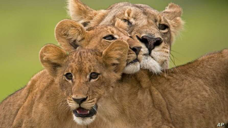 The Last Lions' Documentary Traces Botswana Lioness, Her Cubs