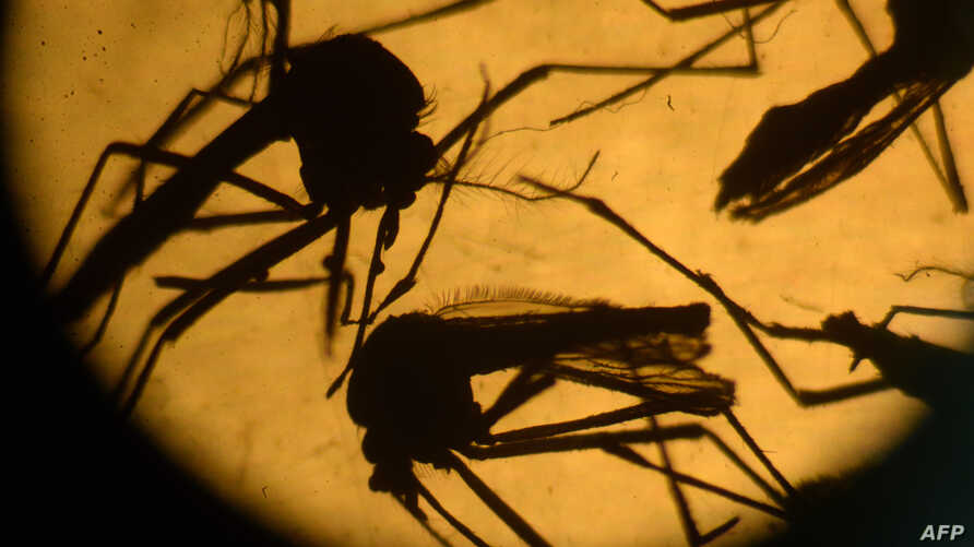 FILE - Aedes aegypti mosquitos are photographed in a laboratory at the University of El Salvador, in San Salvador, Feb. 3, 2016.