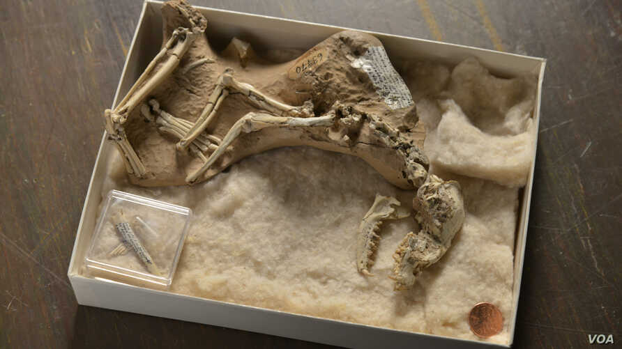 """A skeleton of a 30-million-year-old fossil dog, Archaeocyon (""""ancient dog""""), is seen in the American Museum of Natural History canid collection. The earliest dogs, going back 40 million years in North America, were animals no larger than a Chihuahua"""