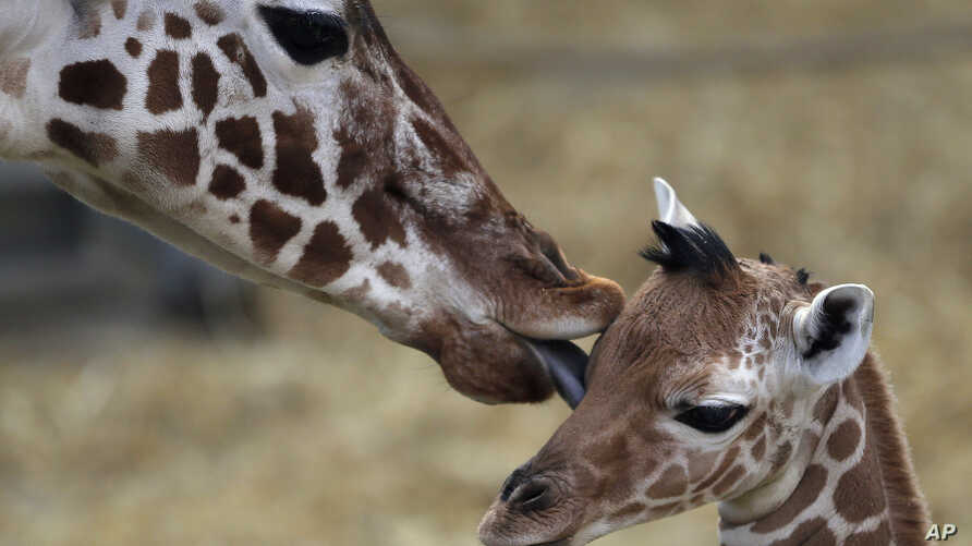 A two-day-old female reticulated giraffe, also known as the Somali giraffe, is licked by her mother Malindi in the indoor enclosure at the Zoo in Duisburg, Germany, Feb. 13, 2015.