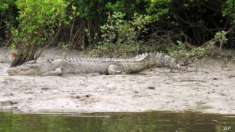 FILE - A crocodile rests on the shore along the Daintree River in Daintree, Australia, June 29, 2015. Boats take tourists on river cruises where usually see crocodiles and other wildlife.