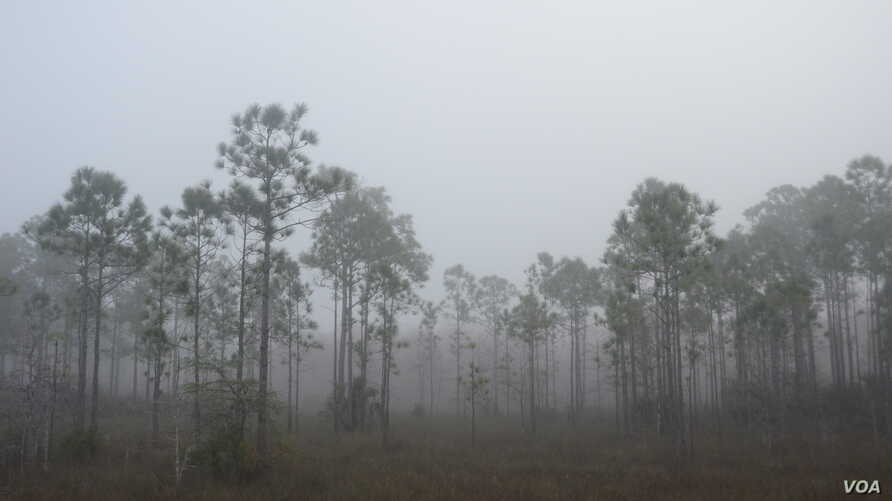 An early morning fog added a surreal quality to the ancient trees at the Big Cypress National Preserve in southern Florida.
