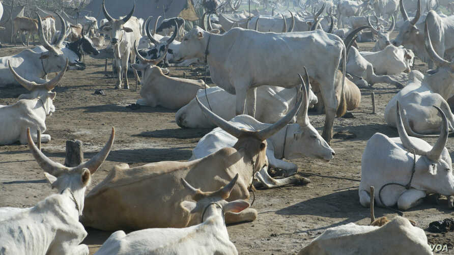 The U.N. Food and Agriculture Organization says the displacement of millions of cattle and other livestock in South Sudan poses greater disease and violence risk. ©UN/Isaac Billy Gideon / FAO