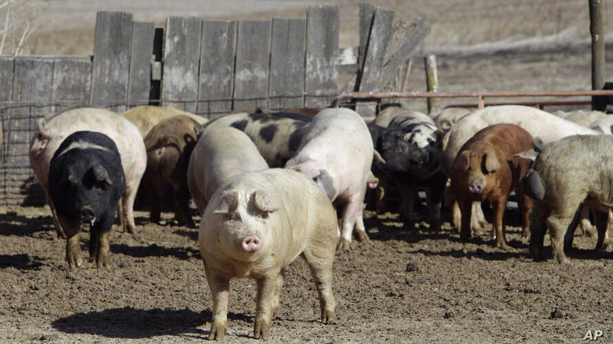 FILE - Pigs roam in a feedlot on a farm in Clear Lake, Iowa. Mexico could revive the list of mostly agricultural products it used to push Washington into letting Mexican truckers on U.S. highways in 2011; pork products topped that list.