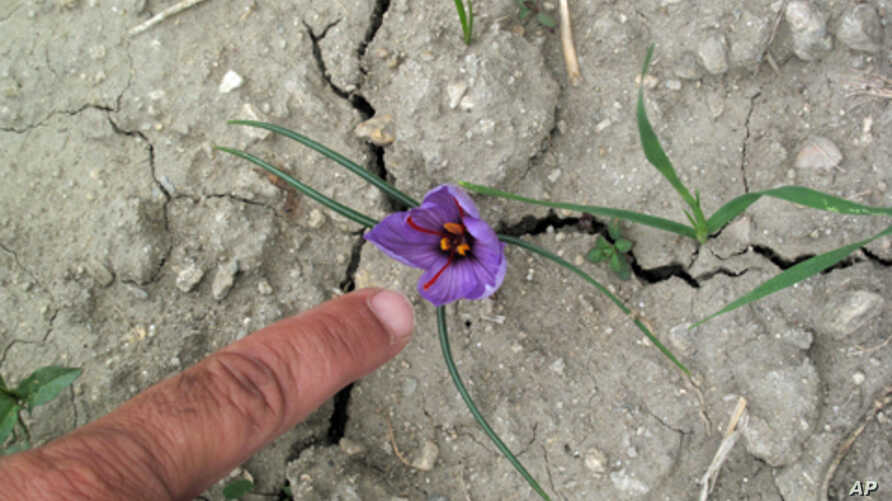 Honey Saffron Are Weapons In Afghanistan Battle Voice Of America